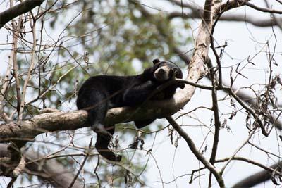 Bornean Sun Bear Conservation Centre - Sonnenbär auf Ast