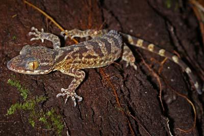 Danum Valley Conservation Area - Gecko in der-Nacht