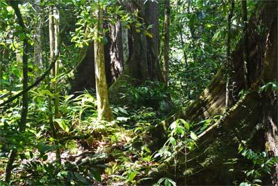 Trekking im Regenwald - Danum Valley Conservation Area
