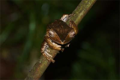 Frosch während eines Night-Drive im Danum Valley