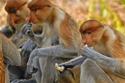 Fütterung im Labuk Bay Proboscis Monkey Sanctuary