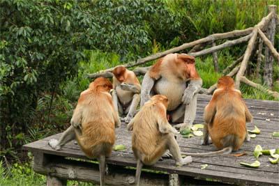 Futterstelle im Labuk Bay Proboscis Monkey Sanctuary