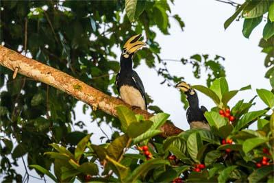 Hornbills am Kinabatangan