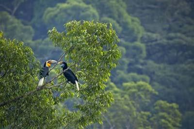 Hornbills im Danum Valley