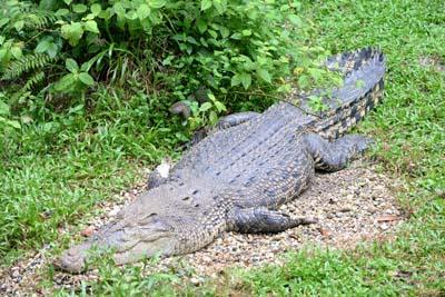 Krokodil in Semenggoh
