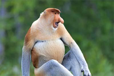 Nasenaffe - Labuk Bay Proboscis Monkey Sanctuary