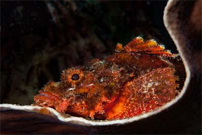 Skorpionfisch in Lankayan