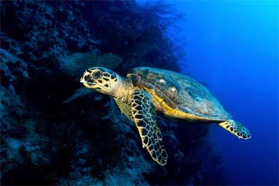 Layang Layang Island Schildkröte