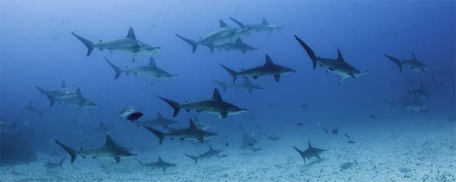 Layang-Layang tauchen mit Hammerhaien