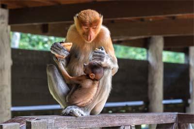 Mutter mit Jungem in Labuk Bay
