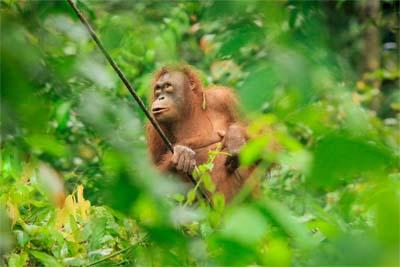 Orangutan in Sepilok