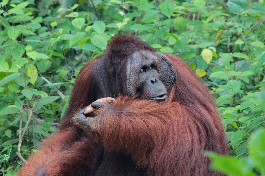 Richie wurde aus dem Semenggoh Wildlife Rehabilitation Centre ausgewildert