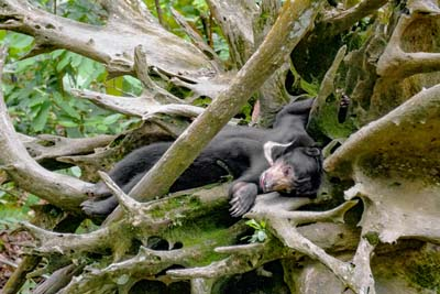 Schlafender Sonnenbär - Bornean Sun Bear Conservation Centre
