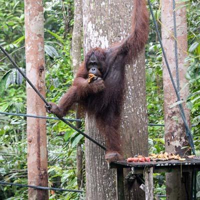 Semenggoh - Orang-Utan bei der Fütterung