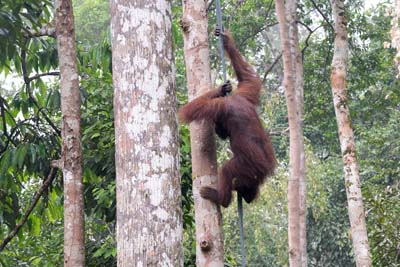 Semenggoh Wildlife Centre Affe klettert herab