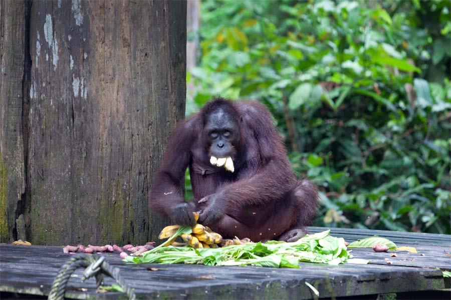 Sepilok Orangutan Centre Fütterungszeit