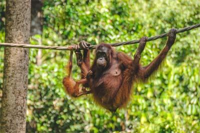 Sepilok Orangutan Rehabilitation Centre Mutter mit Jungem