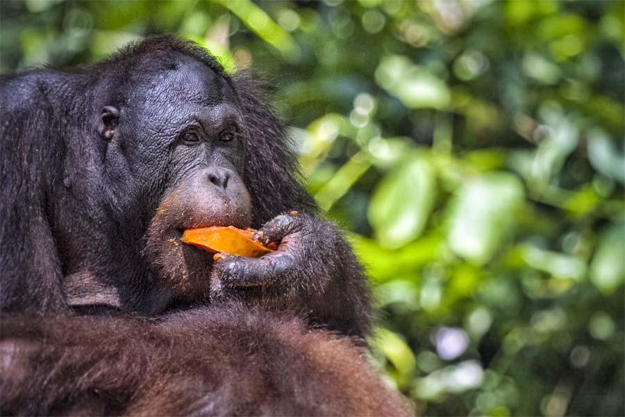 Orangutan im Sepilok Orangutan Rehabilitation Centre