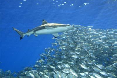 Mit Haien tauchen Lankayan