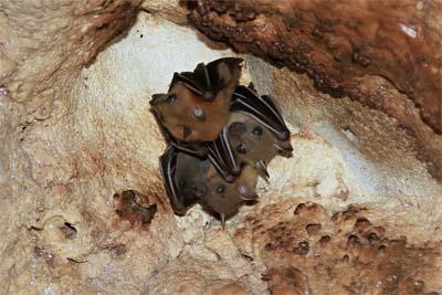 Fledermäuse in der Wind Cave Sarawak