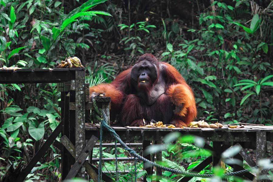 Gründe für Borneo-Urlaub: Orang-Utan-Schutzeinrichtung
