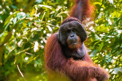 Orang-Utan - Ausgewachsenes Männchen