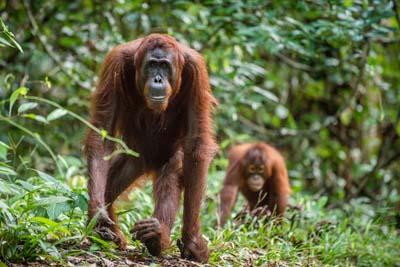 Orang-Utan - Muttertier mit Jungem