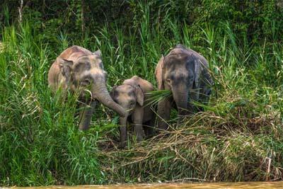 Borneo-Zwergelefanten am Ufer des Kinabatangan River