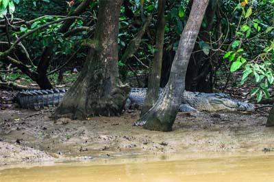 Krokodil am Ufer des Kinabatangan River