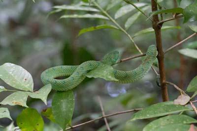 Bako National Park - Grüne Viper Schlange