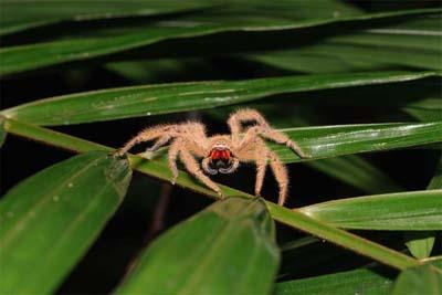 Bako Park Spinne bei Nachtwanderung