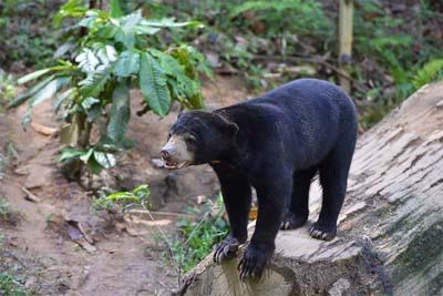 Bornean Sun Bear Conservation Centre Sonnenbär