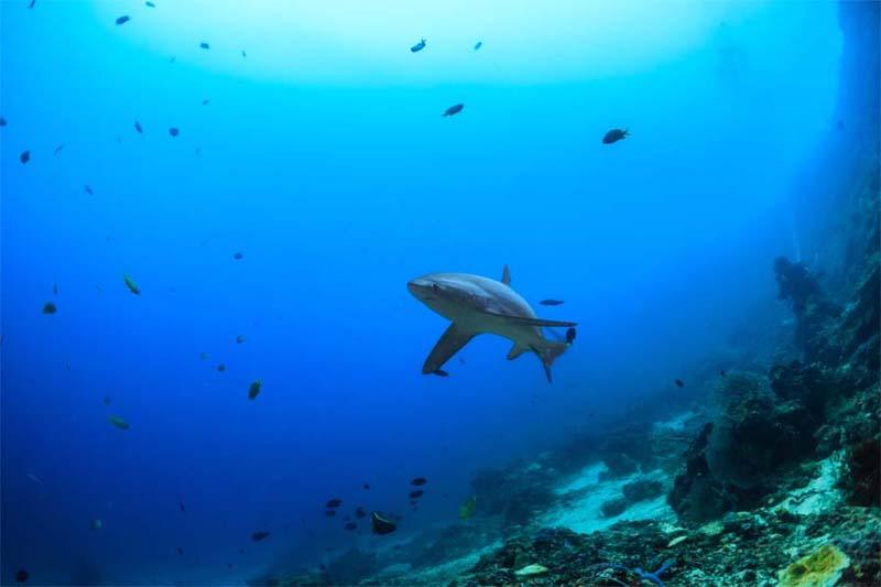 Fuchshai bei Sipadan Island
