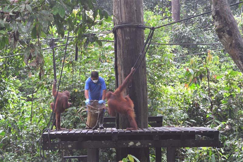 Fütterung im Sepilok Orangutan Rehabilitation Centre