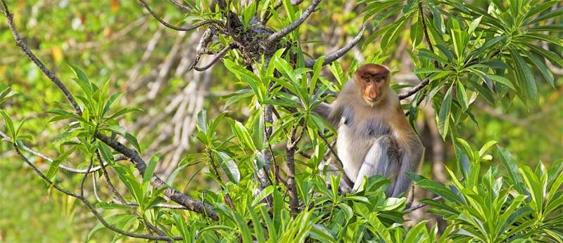 Nasenaffe im Labuk Bay Proboscis Monkey Sanctuary