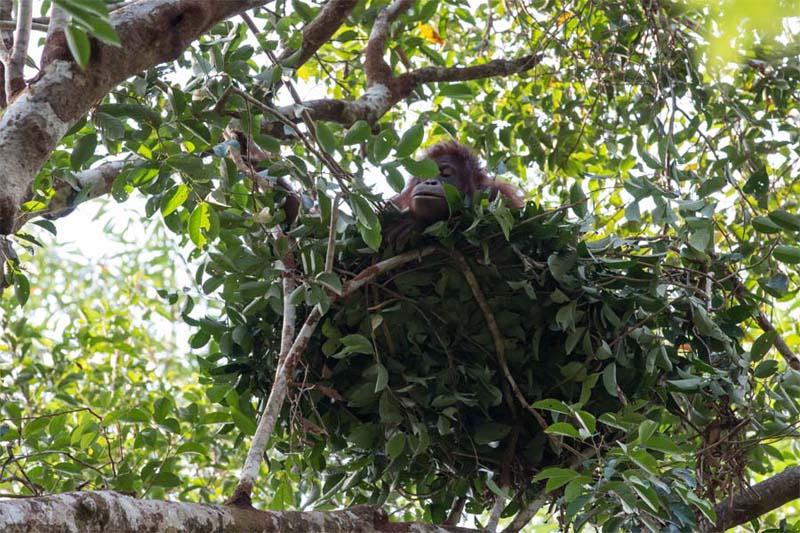 Orang-Utan baut ein Nest