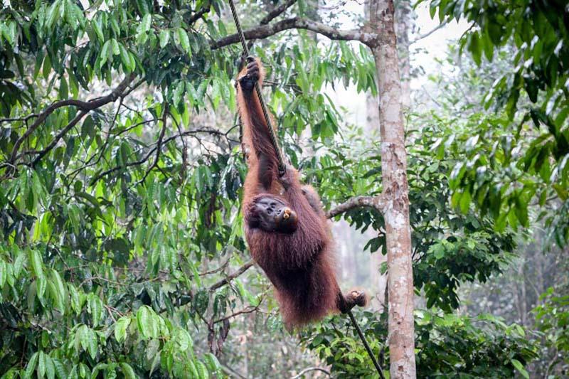 Orang-Utan in einer Schutzeinrichtung
