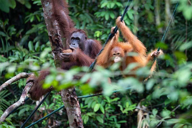 Orang-Utans im Semenggoh Wildlife Centre