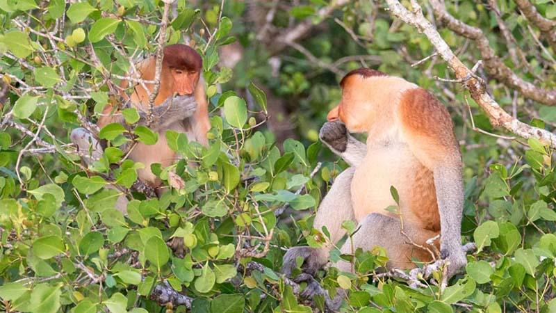 Nasenaffen im Bako Nationalpark
