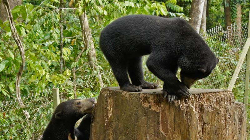 Malaienbären im BSBCC