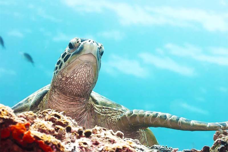 Sipadan tauchen mit Schildkröten