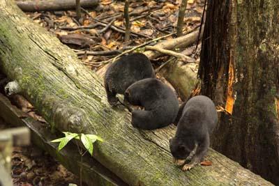 Sonnenbären im Bornean Sun Bear Conservation Centre