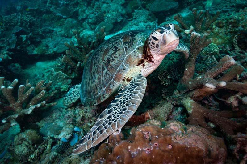 In Lankayan gibt es viele Schildkröten