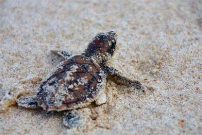 Baby-Schildkröte auf Lankayan Island